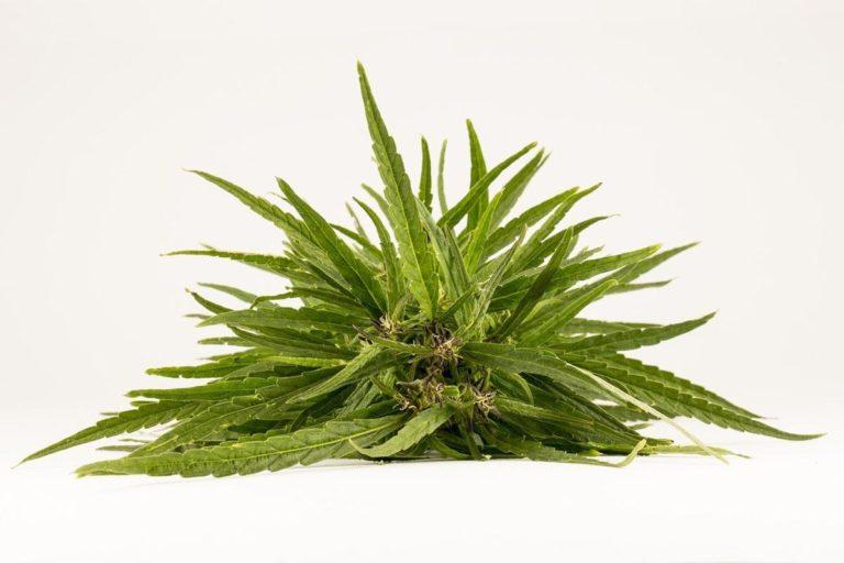 Domowa hodowla marihuany na własny użytek